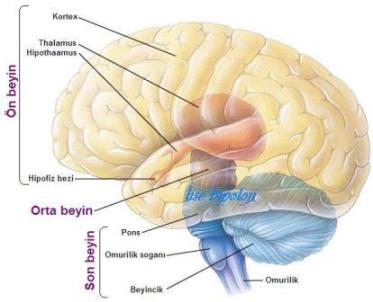 Beyin Bölgelerinin İşlevleri