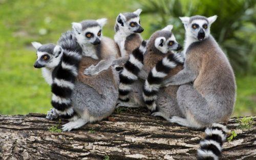 lemur maymunu