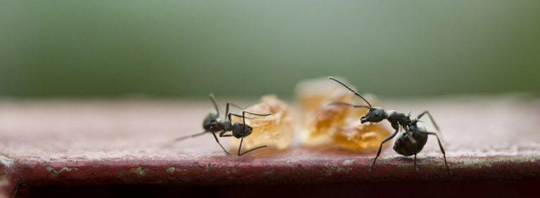 Karınca yumurtası yağı ne işe yarar